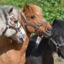 В Казани возбуждено уголовное дело по факту хищения пони из спортшколы