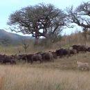 Игра львов и буйволов в «кошки-мышки» рассмешила туристов и попала на видео