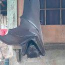 Огромная летучая мышь с полутораметровыми крыльями напугала людей
