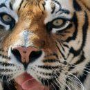 В казанском зоопарке скончалась тигрица-любимица Ромашка. Она прожила почти 19 лет