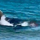 Голодная акула-людоед растерзала тюленя и попала на видео