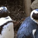 Пара пингвинов-геев украла яйца у пингвинов-лесбиянок