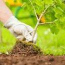 Отрадный засадили кленами (фото)
