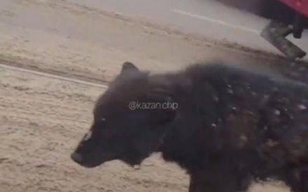По Казани в январе прошлого года гуляли медведи