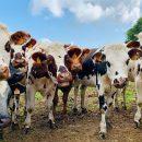 Решить проблему изменения климата предложили борьбой с метеоризмом коров