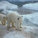 Сезон белых медведей начался в Арктике