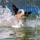 Кинолог назвал самых уязвимых в жару собак