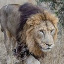 Лев устроил засаду на леопарда и попал на видео