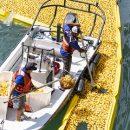 В Чикаго сбросили в реку 70 тысяч резиновых уток