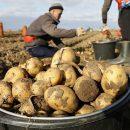 Россиян предупредили о подорожании картофеля